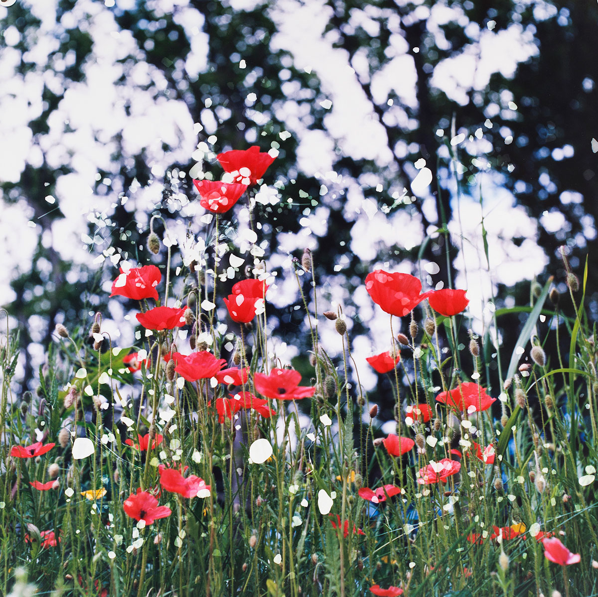 "Plugstreet Poppies, Ploegsteert, Belgium (2014) | 29 3/8"" x 29 ¼"" (74.6 x 74.3 cm) 